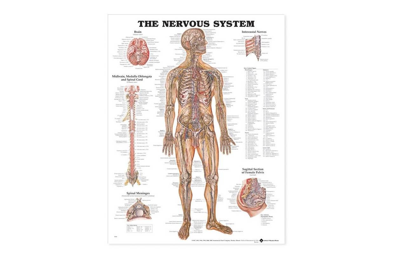 Az emberi test idegrendszere 50,8x66cm