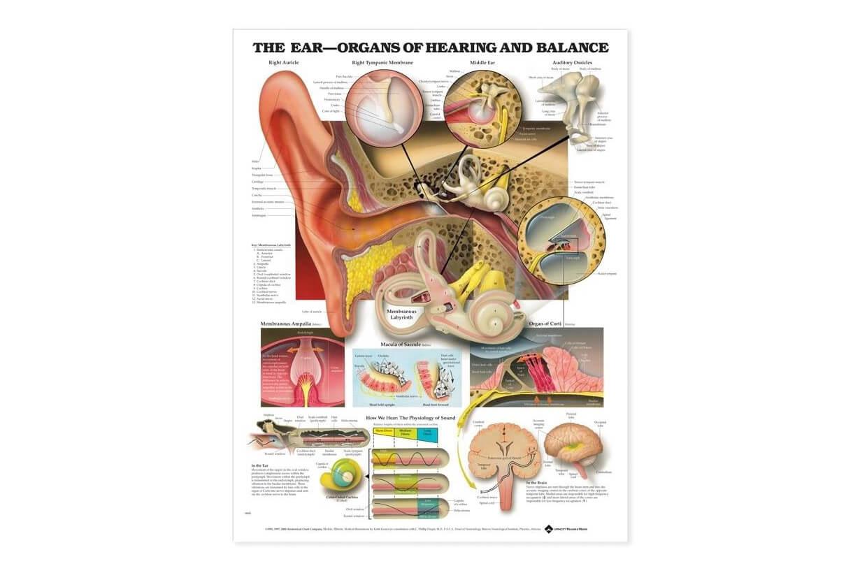 A fül és a hallás rendszer 50,8x66cm