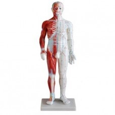 Férfi akupunktúrás modell izmokkal, magasság: 60 cm