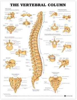 Články chrbtice 50,8x66