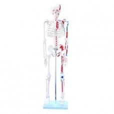 Csontváz színesen jelölt izomzattal, magasság: 85 cm