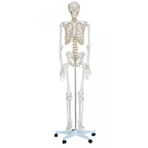 Csontváz életnagyságban, 180 cm magassággal
