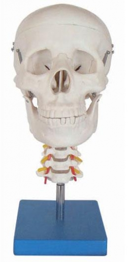 Koponya nyaki gerinccel életnagyságban