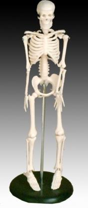 Kis csontváz, 42 cm