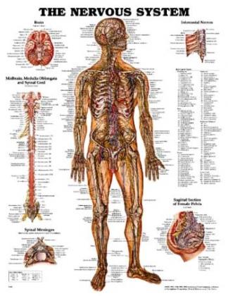 Nervový systém človeka 50,8x66cm