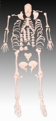 Szétszedett csontváz, életnagyságban