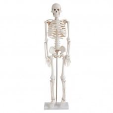 Közepesen nagy csontváz, magasság 85 cm