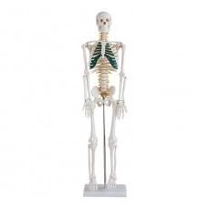 Közepesen nagy csontváz gerincvelői idegekkel, magasság 85 cm