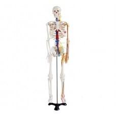 Stredne veľká kostra s nervami a cievami, výška 85 cm
