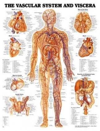 Vaskulárny systém človeka 50,8x66cm
