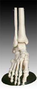 A láb ízülete, életnagyságban